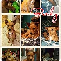 Adopt A Pet :: Brady-pending adoption - Manchester, CT