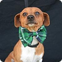 Adopt A Pet :: Cuba Gooding, Jr. - Plano, TX