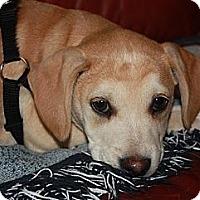 Adopt A Pet :: Hattie - Staunton, VA