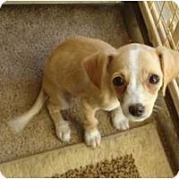 Adopt A Pet :: Ariel - Arlington, TX