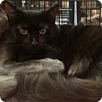 Domestic Mediumhair Cat for adoption in Fremont, California - Laverne