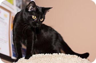 Domestic Shorthair Cat for adoption in Philadelphia, Pennsylvania - Beth