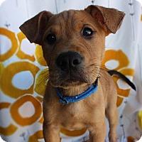 Adopt A Pet :: Mr. Pibbles - Austin, TX