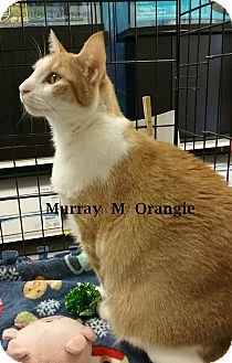 Domestic Shorthair Cat for adoption in Brandon, Florida - Murray