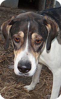 Hound (Unknown Type) Mix Dog for adoption in Lawrenceville, Illinois - Bandit