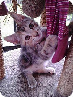 Domestic Shorthair Kitten for adoption in Lake Worth, Florida - Bella