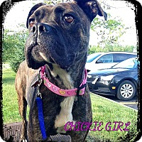 Adopt A Pet :: Chickie Girl - Dearborn, MI