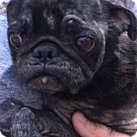 Adopt A Pet :: I'M ADOPTED Miss Puggie :) Aug - Oswego, IL