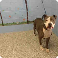 Pit Bull Terrier Mix Dog for adoption in San Bernardino, California - URGENT on 8/20 SAN BERNARDINO