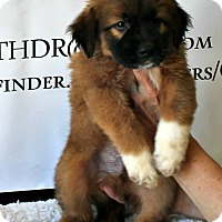 Adopt A Pet :: CTHDR Aussie Mix Puppies - Lebanon, CT