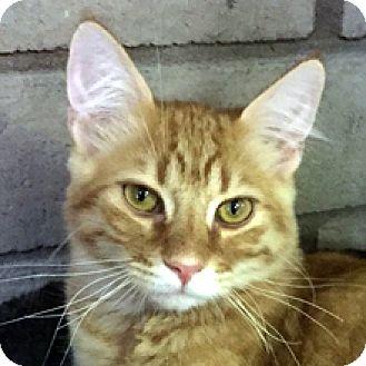 Domestic Mediumhair Cat for adoption in Phoenix, Arizona - Tigger