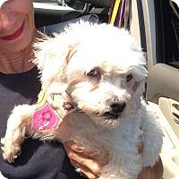 Adopt A Pet :: Snow - San Marcos, CA