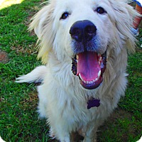 Great Pyrenees Puppy for adoption in Pittsburgh, Pennsylvania - Winston