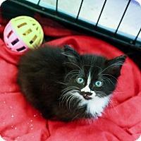 Domestic Mediumhair Kitten for adoption in Nesbit, Mississippi - Mittens