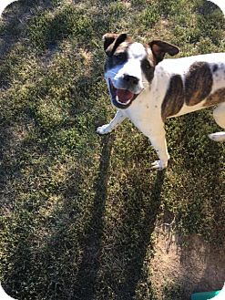 American Staffordshire Terrier Mix Dog for adoption in Whitestone, New York - Harley