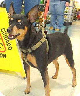 Miniature Pinscher Mix Dog for adoption in Fairmont, West Virginia - Tink