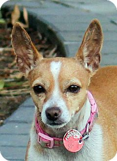 Chihuahua Dog for adoption in Antioch, California - Nena
