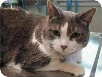 Domestic Shorthair Cat for adoption in Markham, Ontario - Sebastian