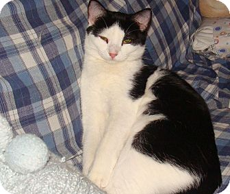 American Shorthair Cat for adoption in Spotsylvania, Virginia - Binx