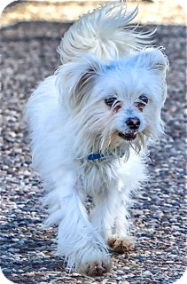 Maltese Mix Dog for adoption in Norwalk, Connecticut - Rhett - adoption pending