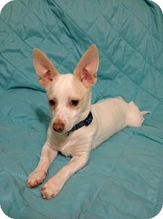 Chihuahua Mix Puppy for adoption in Tustin, California - Boult