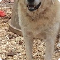 Great Pyrenees/Labrador Retriever Mix Dog for adoption in Newnan, Georgia - Kimber