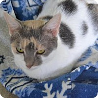 Domestic Shorthair Cat for adoption in East Smithfield, Pennsylvania - Jada