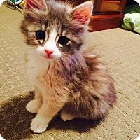 Adopt A Pet :: Remy - St. Louis, MO