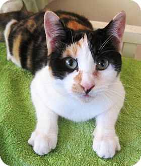 Calico Cat for adoption in Richmond, California - Penelope