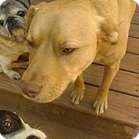 Adopt A Pet :: A Sweet Lab Mix - Mugsy - North Creek, NY