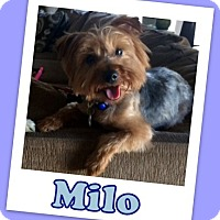 Adopt A Pet :: Milo Franklin - Pataskala, OH