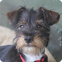 Adopt A Pet :: Biscuit - Woonsocket, RI
