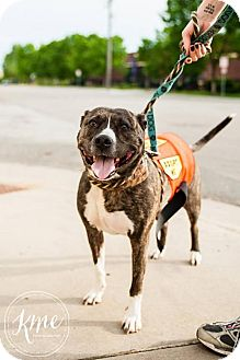 Pit Bull Terrier Dog for adoption in Maple Grove, Minnesota - Daisy