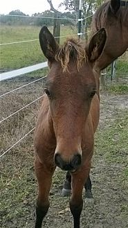 Quarterhorse Mix for adoption in Hitchcock, Texas - Ty