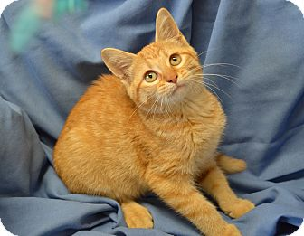Domestic Shorthair Cat for adoption in Larned, Kansas - Peaches