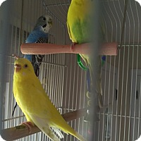 Adopt A Pet :: Snap, Crackle, and Pop - Aurora, IL