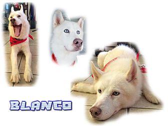 Siberian Husky Dog for adoption in Seminole, Florida - Blanco