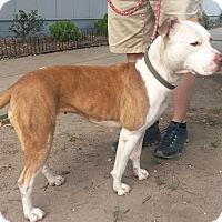 Adopt A Pet :: Tiller (COURTESY POST) - Baltimore, MD