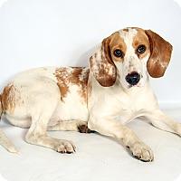 Adopt A Pet :: Sam Beagle - St. Louis, MO