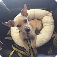 Chihuahua Mix Dog for adoption in Poland, Indiana - Ducky
