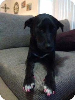 Labrador Retriever Mix Dog for adoption in San Diego, California - Georgie 1