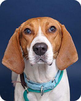 Hound (Unknown Type)/Labrador Retriever Mix Dog for adoption in Sudbury, Massachusetts - JJ