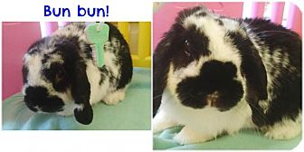 Mini Lop Mix for adoption in Grandville, Michigan - Bun Bun