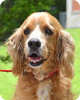 Cocker Spaniel Dog for adoption in Austin, Texas - Cody