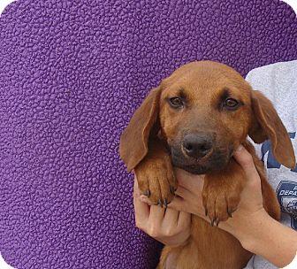 Rhodesian Ridgeback/Labrador Retriever Mix Puppy for adoption in Oviedo, Florida - Xavier