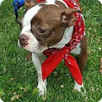 Boston Terrier Dog for adoption in Lisbon, Iowa - Mandy