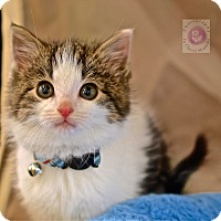 Domestic Shorthair Kitten for adoption in Wayne, New Jersey - Nico