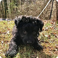 Adopt A Pet :: Tannen (RBF) - Washington, DC