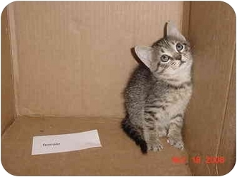 American Shorthair Kitten for adoption in Inverness, Florida - Tika