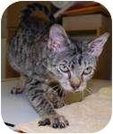 American Shorthair Cat for adoption in New York, New York - Whispers